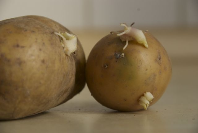 keimende kartoffeln noch essbar