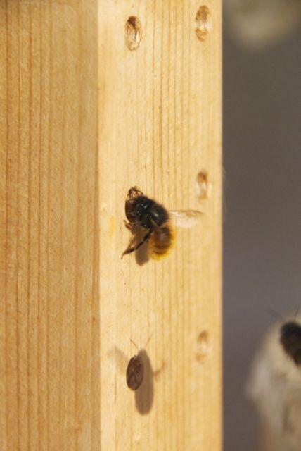 Mauerbiene vor einem Loch des Ikea-Regals auf unserer letzten Terrasse