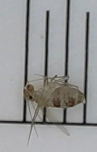 Dorypteryx2