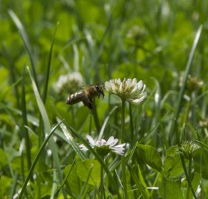 Fliegende Honigbiene in einem Rasen mit Klee und Gänseblümchen
